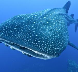 Whale Shark Migration