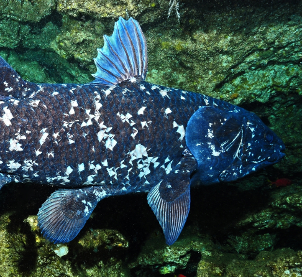 The Prehistoric Coelacanth